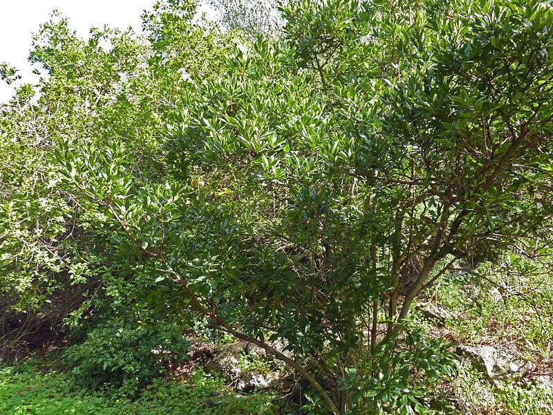 File myrica faya jard n bot nico canario viera y clavijo jpg - Jardin botanico canario ...