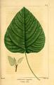 NAS-097f Populus heterophylla.png