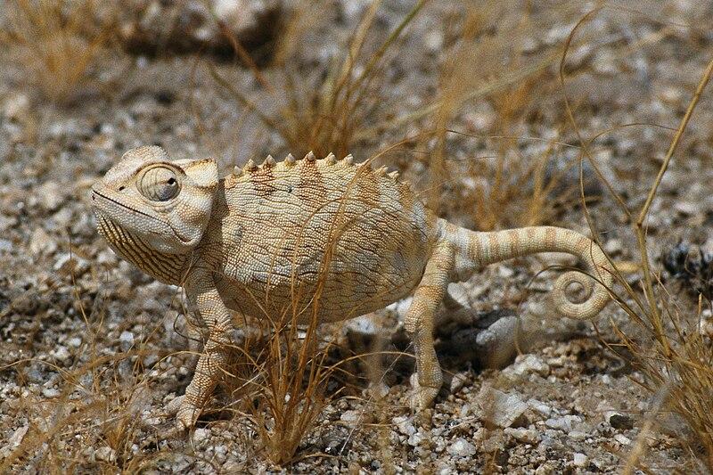File:Namaqua-Chamäleon-Spitzkoppe.jpg