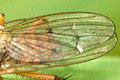 Nanna.articulata9.-.lindsey.jpg