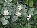 Narcissus poeticus recurvus - Flickr - peganum.jpg
