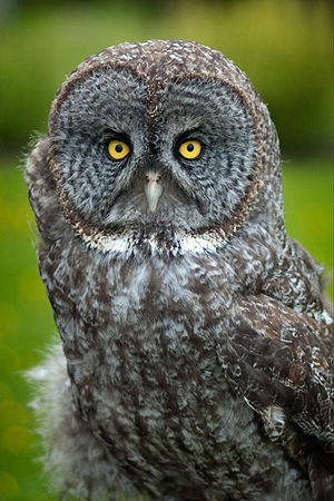Great grey owl - Adult female