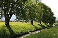 Naturdenkmal Baeume am Ebbsbach Ebbs-5.jpg