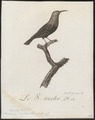 Nectarinia cuprea - 1802 - Print - Iconographia Zoologica - Special Collections University of Amsterdam - UBA01 IZ19000093.tif