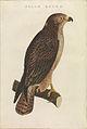 Nederlandsche vogelen (KB) - Buteo buteo (446b).jpg