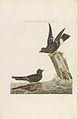 Nederlandsche vogelen (KB) - Hydrobates pelagicus (245pl).jpg