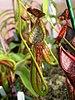 Nepenthes copelandii - Photo JeremiahsCPs, ei tunnettuja tekijänoikeusrajoituksia (Tekijänoikeudeton)