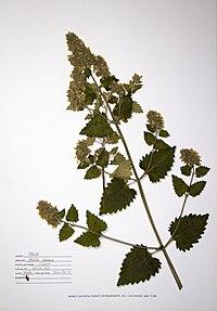 Nepeta cataria BW-1988-0720-0347.jpg