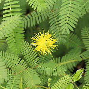 Mizoram - Neptunia oleracea