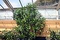 Nerium oleander 20zz.jpg