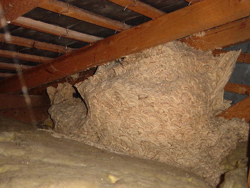 Gu pes abeilles ou autres - Comment se debarrasser d un nid de frelons ...