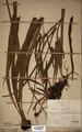 Neuchatel Herbarium Types NEU000113022.tif