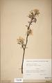 Neuchatel Herbarium Types NEU000113060.tif
