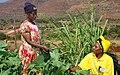 Nigeria-our-work-women-in-field-542x340.jpg