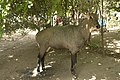 Nilgai, Lakeshwari, Gwalior district, India.jpg