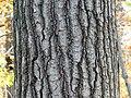 Northern Red Oak (30905870111).jpg