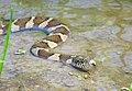 Northern Water Snake (27671580785).jpg