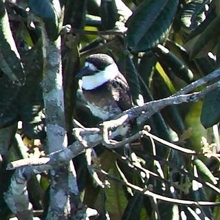 Brown-banded puffbird Species of bird