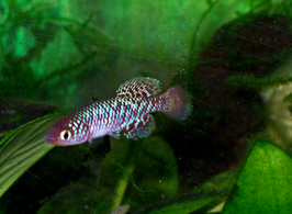 Nothobranchius rachovii