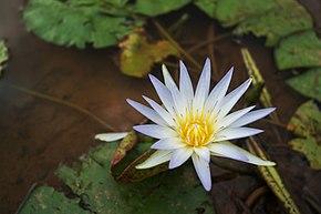 Lotus Bleu Wikipedia