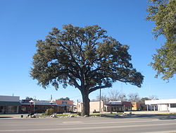 "Giant oak tree in Downtown Pleasanton across from ""Mr. Cowboy"" sculpture"