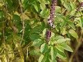 Ocimum bascilicum (5138960970).jpg