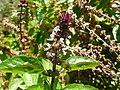 Ocimum basilicum (Lamiaceae) 04.jpg