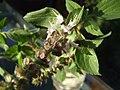 Ocimum basilicum flower.jpg