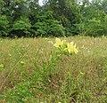 Oenothera heterophylla.jpg