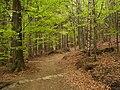 Oldřichovská vrchovina, sever, bučina 04.jpg
