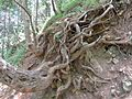 Old Tree Roots on Track.jpg