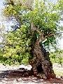 Old Walnut درخت گردوی کهنسال روستای چشمه سبز - panoramio.jpg