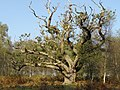 Old oak tree, Rowbarrow, New Forest - geograph.org.uk - 260851.jpg