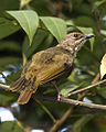 Olive-winged Bulbul, Pycnonotus plumosus plumosus - Adult - Flickr - Lip Kee (1).jpg