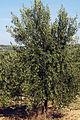 Olives (Tanche) (Drome 26000) Cl9.J Weber (2) (23158692442).jpg
