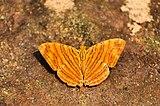 Open Wing puddling of Chersonesia intermedia Martin, 1895 – Wavy Maplet WLB DSC 27559-223--.jpg