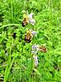 Ophrys apifera 21.jpg