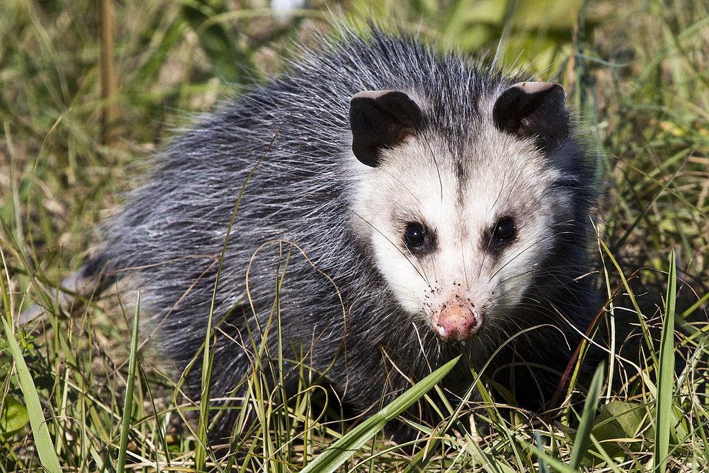 Opossum (16701021016)