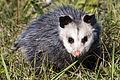 Opossum (16701021016).jpg
