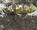 Opuntia phaeacantha 19.jpg