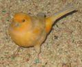 Orange Finch 2.jpg