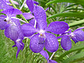 Orchids in Thailand 2013 2741.jpg