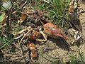 Orconectes limosus (Cambaridae sp.), Arnhem, the Netherlands.jpg