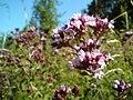 Origanum vulgare - Pamajorán obyčajný.jpg