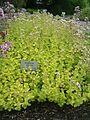 Origanum vulgare Aureum BotGardBln07122011D.JPG