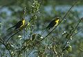 Oriole Blackbird - Venezuela 90Image25 (23593623480).jpg