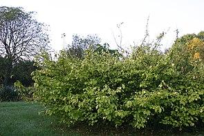 Orixa japonica