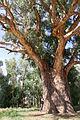 Orroroo, Giant tree.JPG