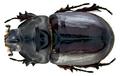 Oryctes nasicornis nasicornis (Linné, 1758) male dorsal.png