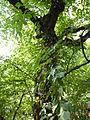 Ostrya carpinifolia - Jardin des plantes.JPG